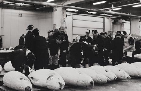 競りの会場に並べられた大きなマグロたち