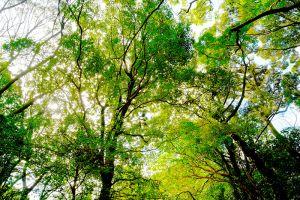 神々が宿る樹木を見上げる