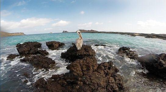 岩の上で羽を休めるブラウン・ペンギン