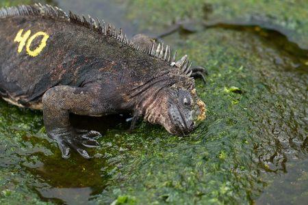 海藻を食べる海イグアナ、背中には研究用の番号