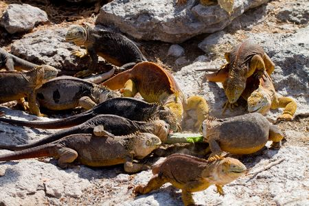 落ちたサボテンの葉を奪い合う陸イグアナたち