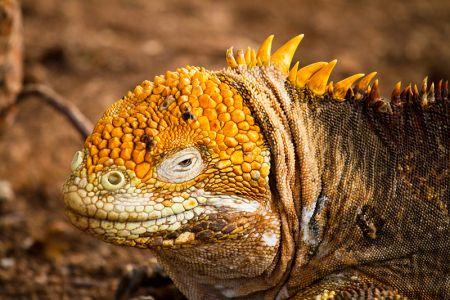 まるで生きてる化石のサンタフェ・陸イグアナ