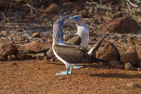 足を上げて滑稽な青足カツオ鳥の求愛ダンス