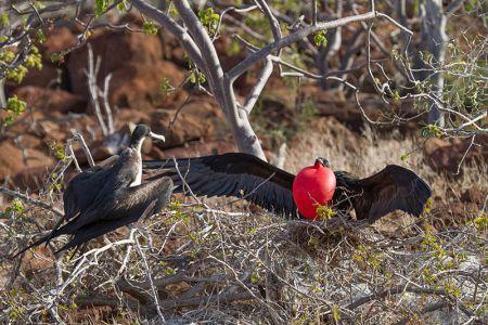 赤い喉袋を膨らませて雌を誘惑する軍艦鳥