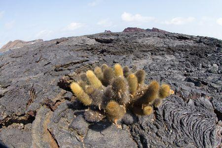 溶岩サボテン