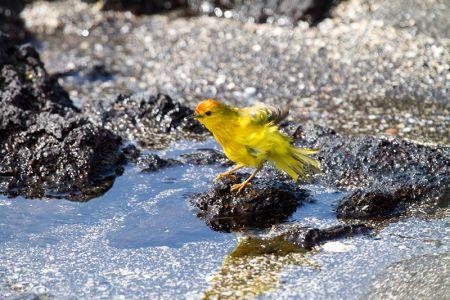 水浴びする黄色アメリカムシクイ