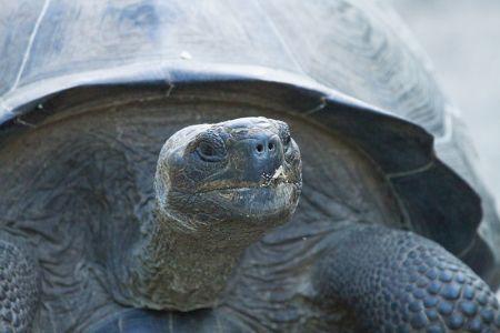 イサベラ島の王様ガラパゴス・ゾウガメ