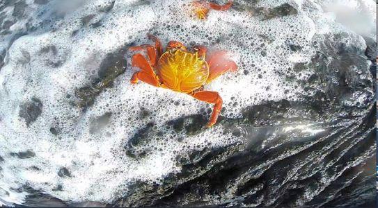 波に洗われるベニイワガニ
