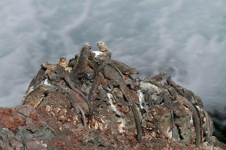 岩にしがみつく海イグアナの群れ