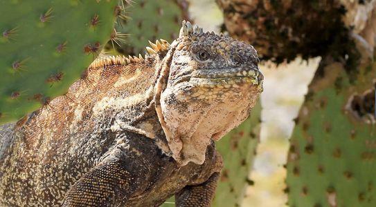 とても珍しいハイブリッド・イグアナ、海イグアナと陸イグアナの混血で鋭い爪で木に登ることができる