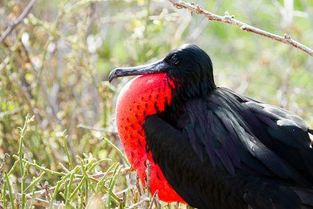 赤い喉袋を膨らませるグンカンドリの雄