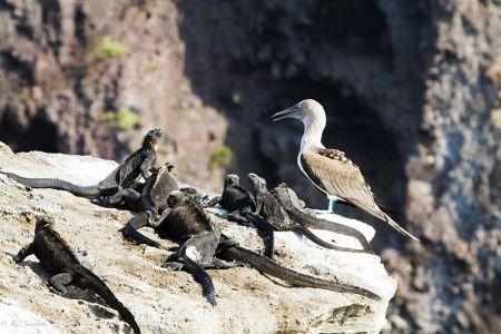 岸壁でくつろぐ海イグアナと青足カツオ鳥