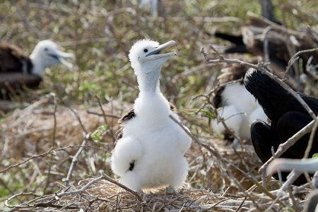 白い羽毛に覆われた軍艦鳥の雛
