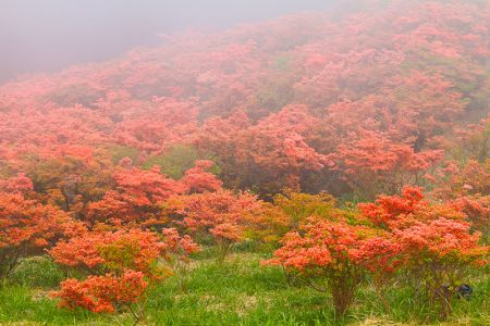 早朝の霧に包まれた大和葛城山のツツジ