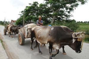 野良犬がたむろし、ニワトリがヒヨコを引き連れて歩く町、ビニャーレスを行く牛車