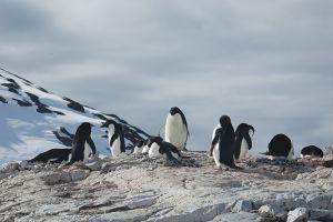 巣作りをするアデリー・ペンギン=6日目、ピーターマン・アイランド