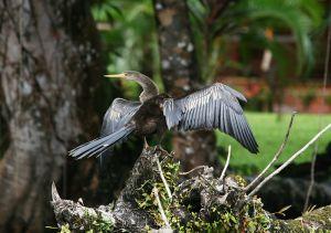 黒と白のイブニングドレスをまとったように優雅な鳥、アニンガ