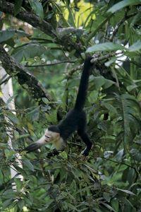 森を飛び回るシロガオ・オマキザル。名前の通り、尻尾で木の枝をしっかり巻いている