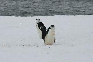 愛嬌のある顔、角度によって何かを物語る、チンストラップ・ペンギン
