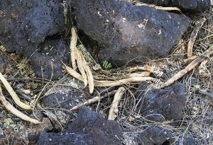 キアーベの木から落ちた豆