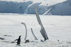クジラの骨を見学するジェンツー・ペンギン=6日目、ポート・ロックロイ