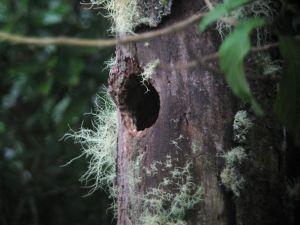 キツツキが残した穴を巣にする