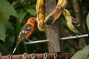 プランテーンの実をムシャムシャ食べる小鳥