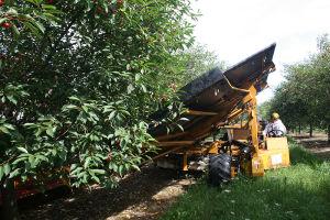 シークエスト果樹園でチェリーを収穫するトラクター