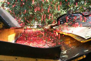 シークエスト果樹園のチェリー収穫の様子