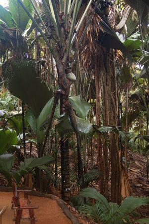ヴァレ・デュ・メイには、ココ・デ・メア以外にも貴重な動植物が存在。運がよければ珍しいブラック・パロットも見れる