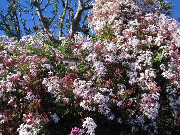 春の到来を告げるジャスミンの花 Photo © Chizuko Higuchi