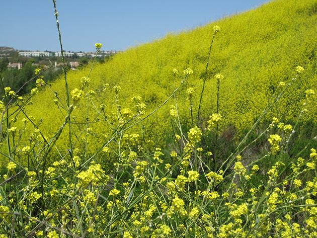 黄色い丘 Photo © Chizuko Higuchi