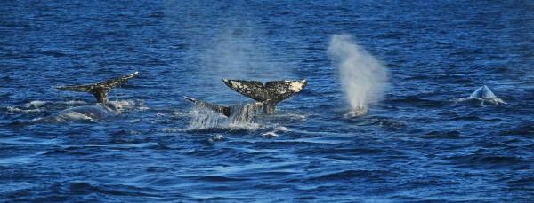 Pod of Gray Whales Island Packers Doug Mangum