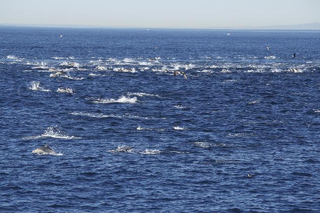 飛び跳ねるイルカの大群 Photo © Mirei Sato