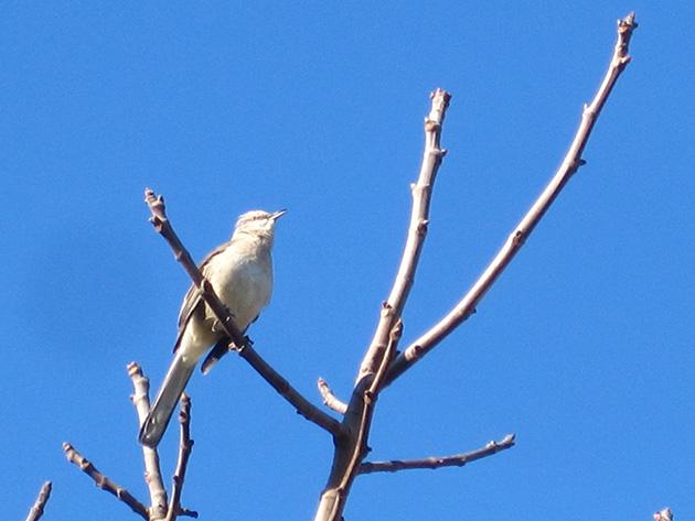 春を告げる鳥 Photo © Chizuko Higuchi
