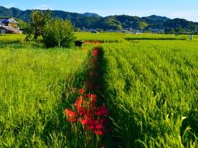 9月には彼岸花が稲を守ってくれる Photo © Naonori Kohira