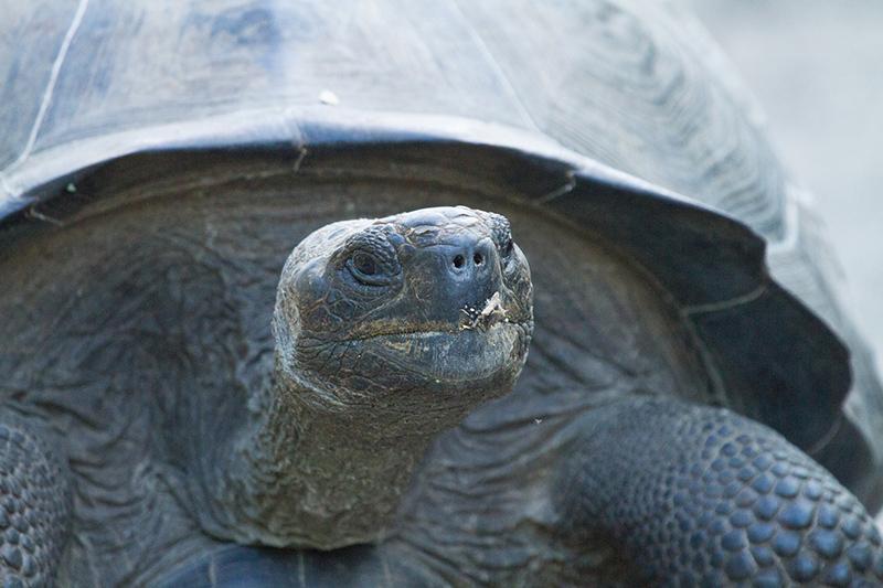 イサベラ島の王様ガラパゴス・ゾウガメ Photo © Kaz Takahashi