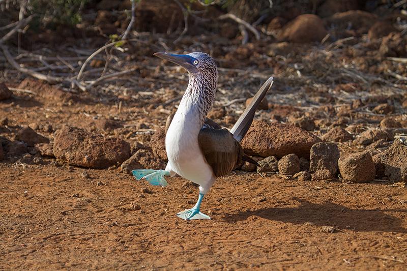 足を上げて滑稽な青足カツオ鳥の求愛ダンス Photo © Kaz Takahashi