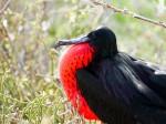 赤い喉袋を膨らませるグンカンドリの雄 Photo © Kaz Takahashi