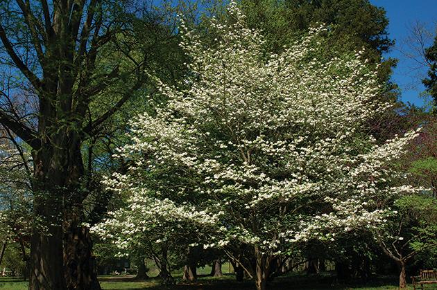 満開のバージニアの州花「ドッグウッド」 Photo © Mirei Sato