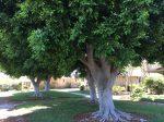 樹齢60年の巨木Photo © Chizuko Higuchi
