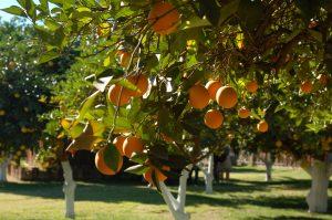 アリゾナの太陽を浴びて実るオレンジ=「Orange Patch」Photo © Mirei Sato
