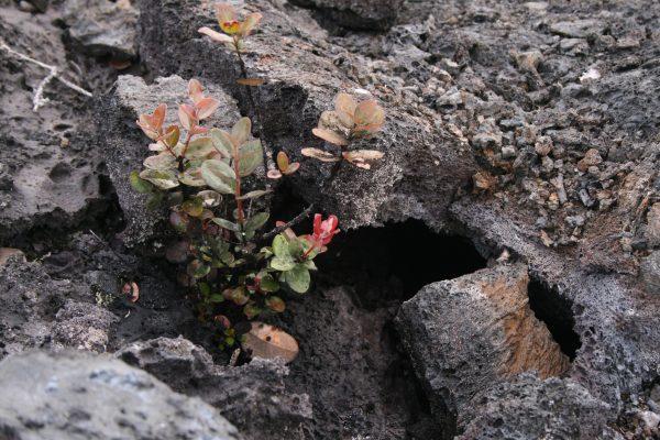 ごつごつした溶岩のすき間から、しぶとく草花が伸びるPhoto @ Mirei Sato