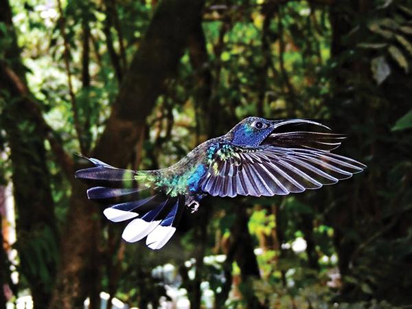 コスタリカのハチドリ©Shinichiro Ueda